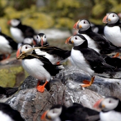 Puffins, Farne Islands, Northumberland